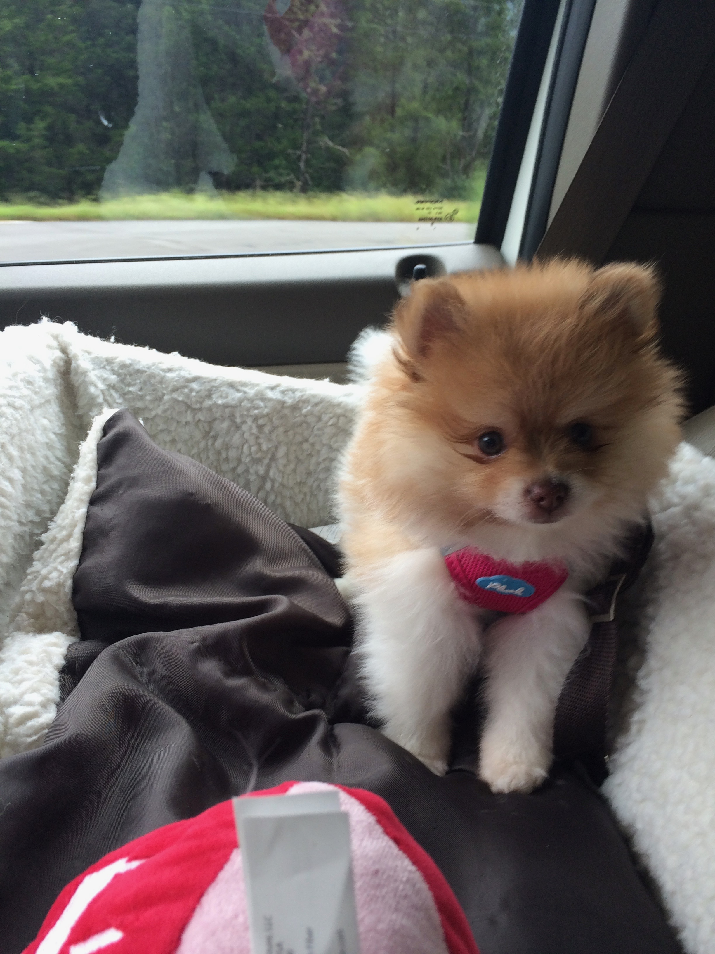 meet-our-newest-member-of-the-family-learn-how-to-handle-a-pomeranian-puppy