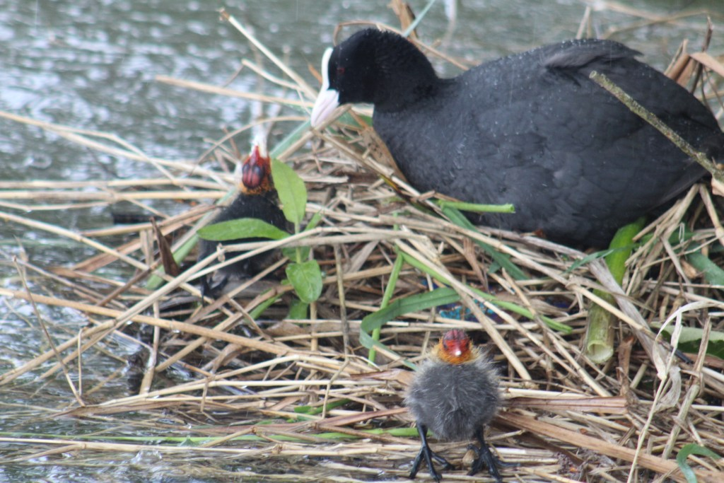 Baby coots born in May