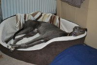 RGT South Lakes, Cumbria Greyhound Rescue - Retired ...