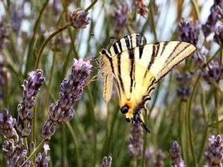 scarce-swallowtail