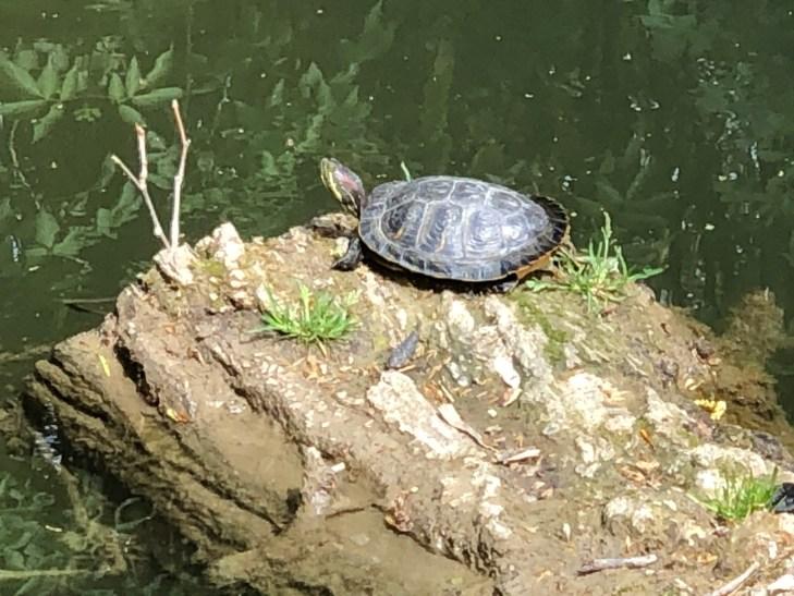 Turtle on a log Carcassonne Confinement Continues