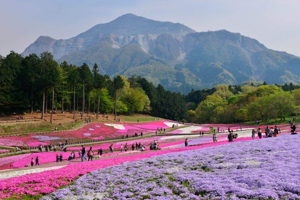 Hitsujiyama Park with Moss Phlox Flowers