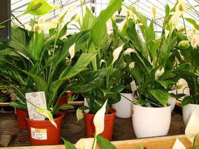 Where Can You Buy Houseplants Our House Plants