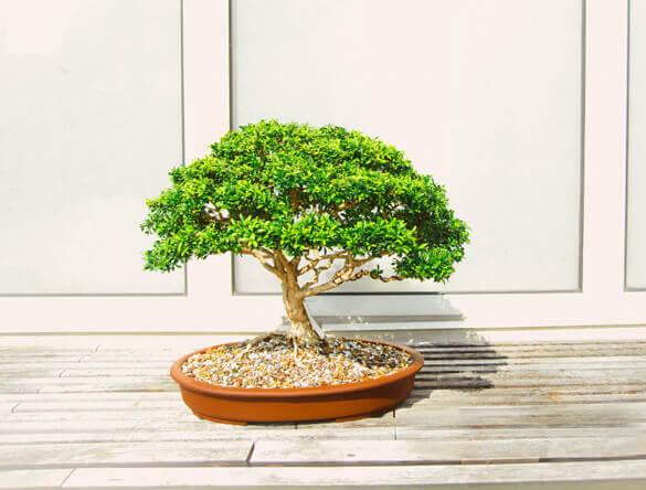 Outdoor Bonsai and Indoor Bonsai can make good houseplants