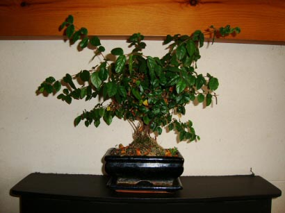 A Bonsai with no shape is caused by lack of training and pruning