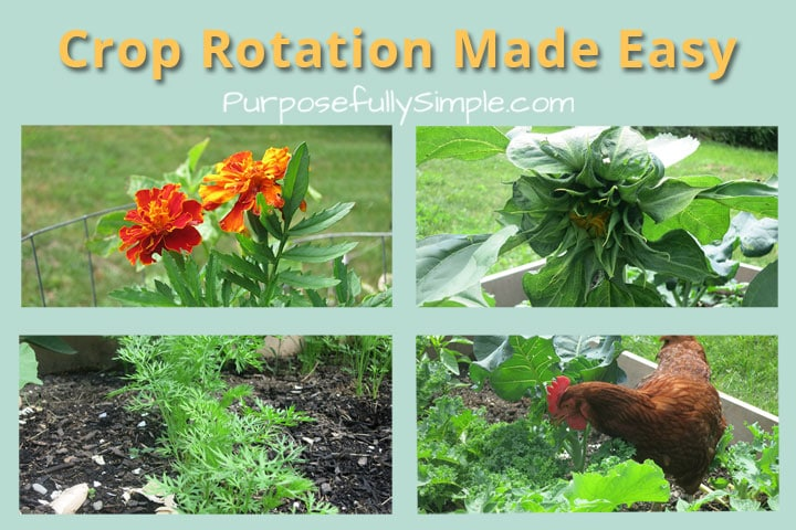 Crop rotation doesn't have to be a headache. With this simple rotation schedule you'll have fertile soil and beautiful vegetables every year with less work!