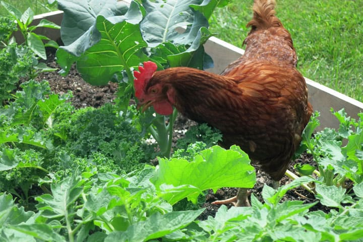 Chicken-in-raised-bed