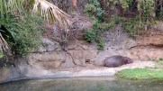 Sleeping hippo, this one's for Allie! Feb 8, 2018 at Animal Kingdom