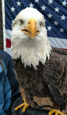 Liberty the eagle at the World Bird Sanctuary
