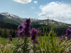 Snow cap mountains of Yellowstone National Park accented by purple flowers, NE side of the park