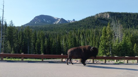 Outside Cooke City, MT, bison hanging out on the road by Soda Butte