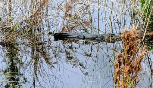 Alligator in the marsh at Lake Apopka