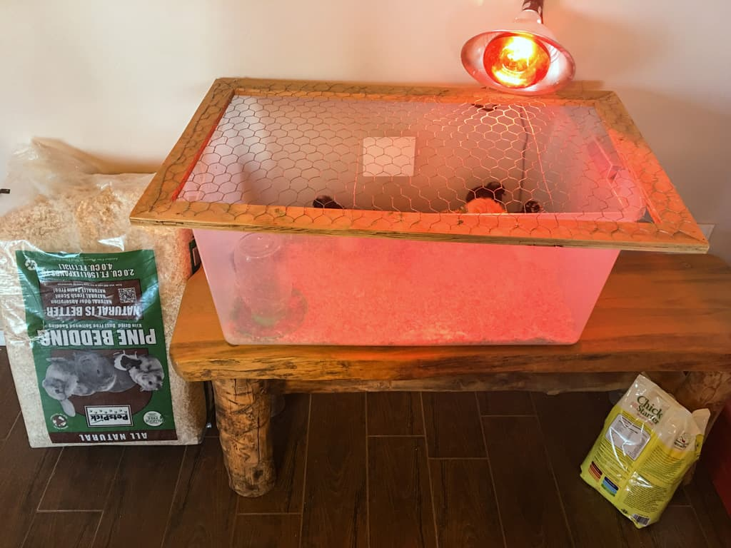 Do you plan on raising chickens on your homestead? Making chick care a priority now will pay off with healthy hens (and eggs) this summer. Baby Chicks | Homestead Chickens | Chick Care