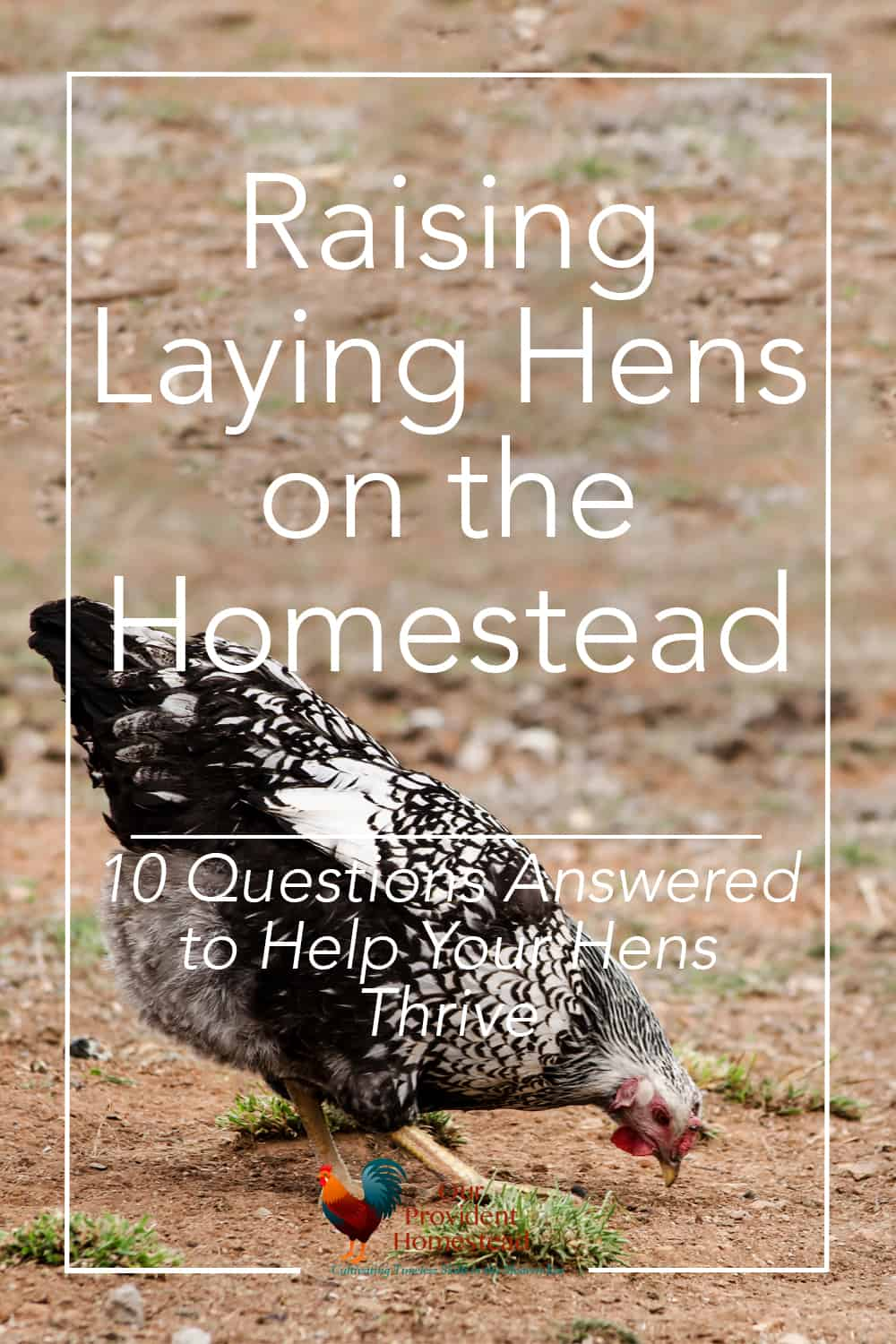 raising laying hens on the homestead 10 questions answered to