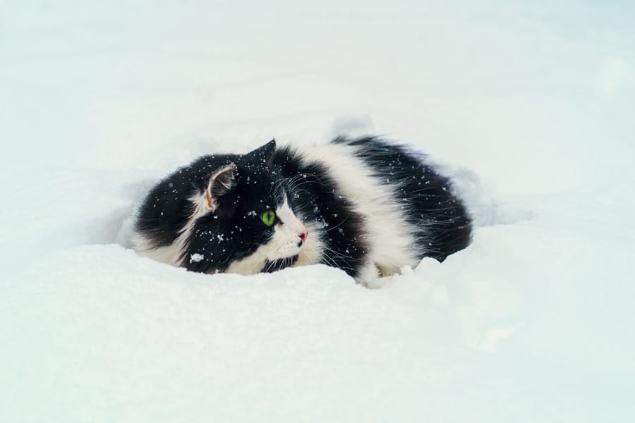 black and white cat with green eyes sitting in the snow