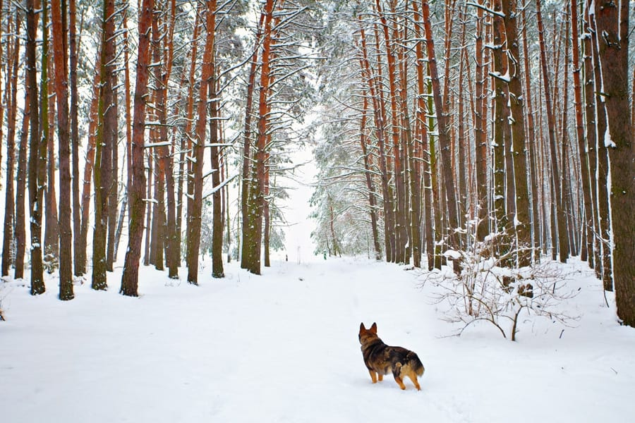 winter landscape scene with tall brown trees and a german shephard dog looking away