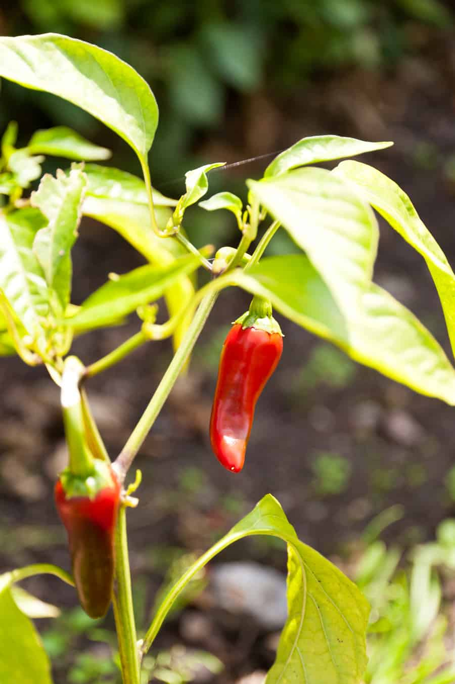 red peppers on plant in garden