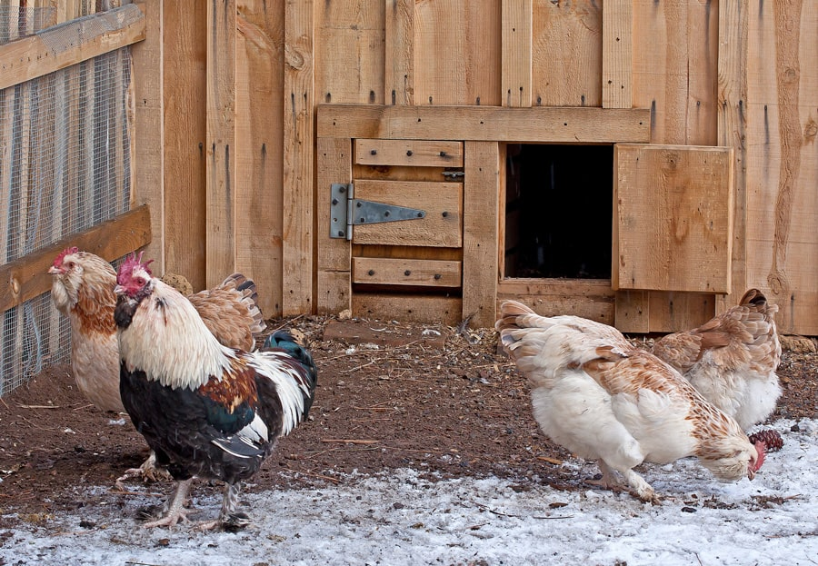 2 chickens in front of a chicken coop
