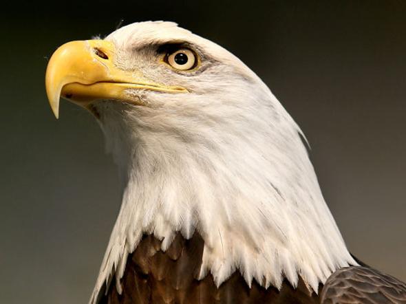 Bald Eagle_1485466784694.jpg