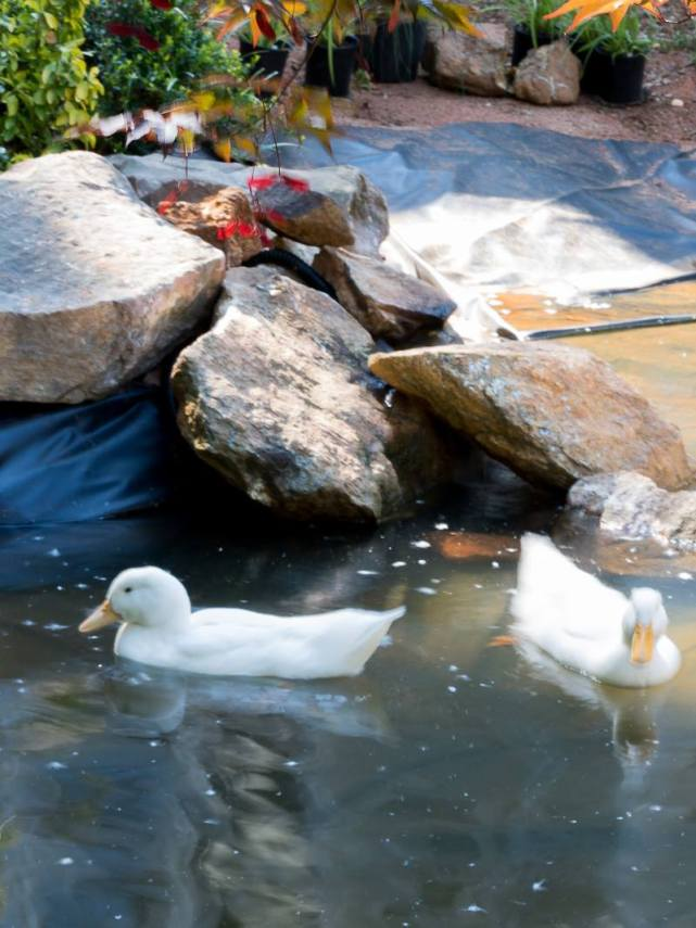 Building a duck pond with Duke Manor Farm