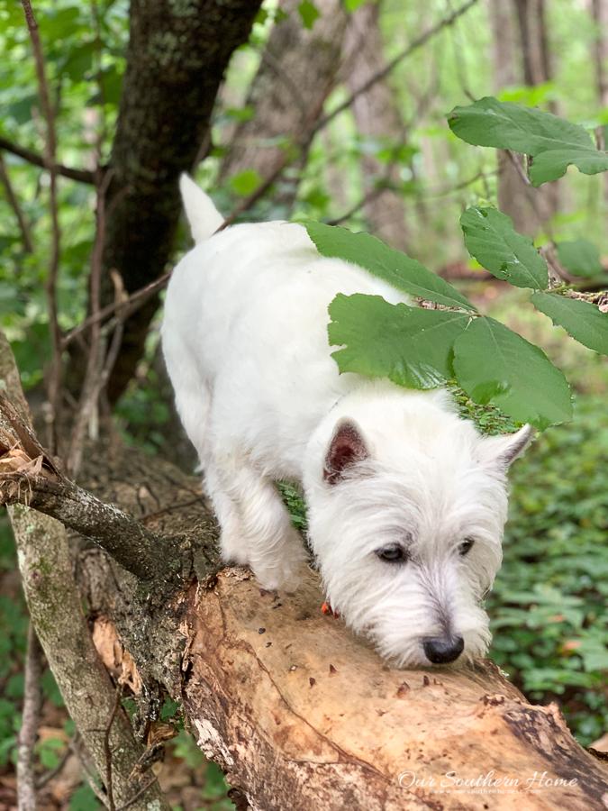 westie walking in the woods
