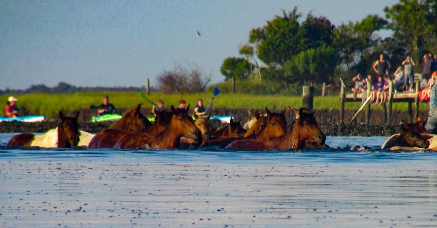 The first crossing during the Chincoteague Pony Swim