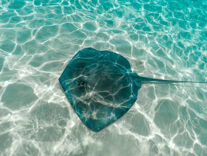 A giant stingray swimming in the sand bar at Stingray City.