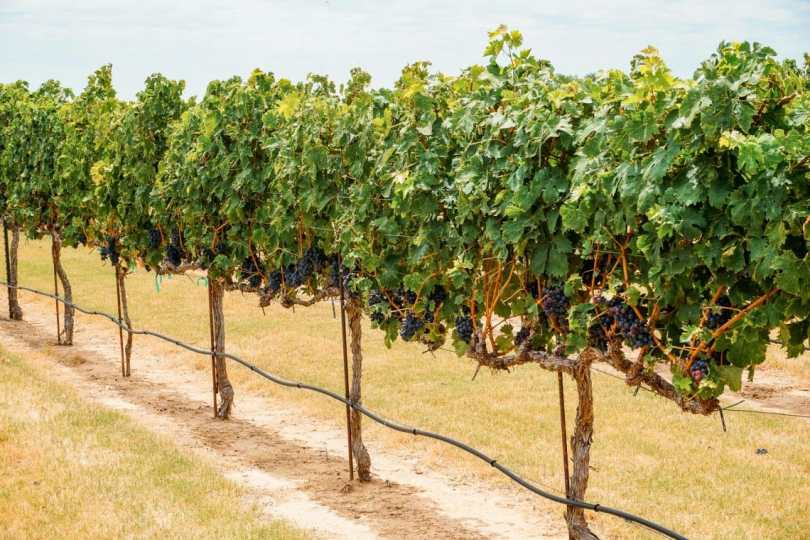 A row of vineyards with grapes ready to be picked.