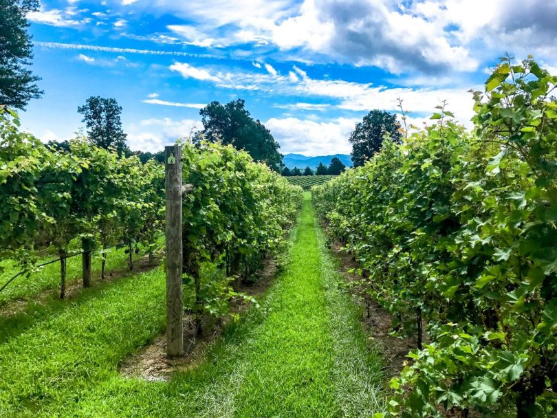 Lanes of vibrant green vineyards with a bright blue sky and clouds at a winery in Charlottesville, Virginia.