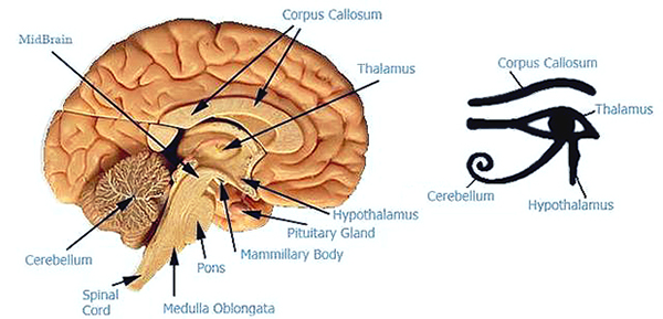ourwonderlife | de-calcify the pineal gland – our eye of horus, Sphenoid
