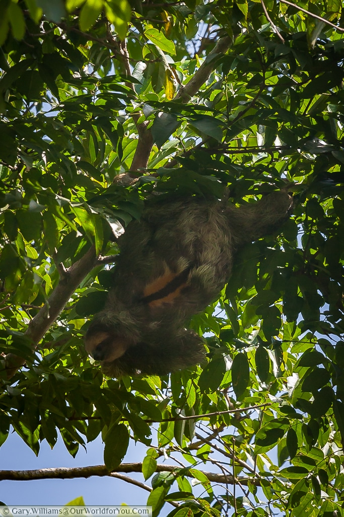 A Sloth hanging upside down, feeding whilst avoiding direct sunlight.