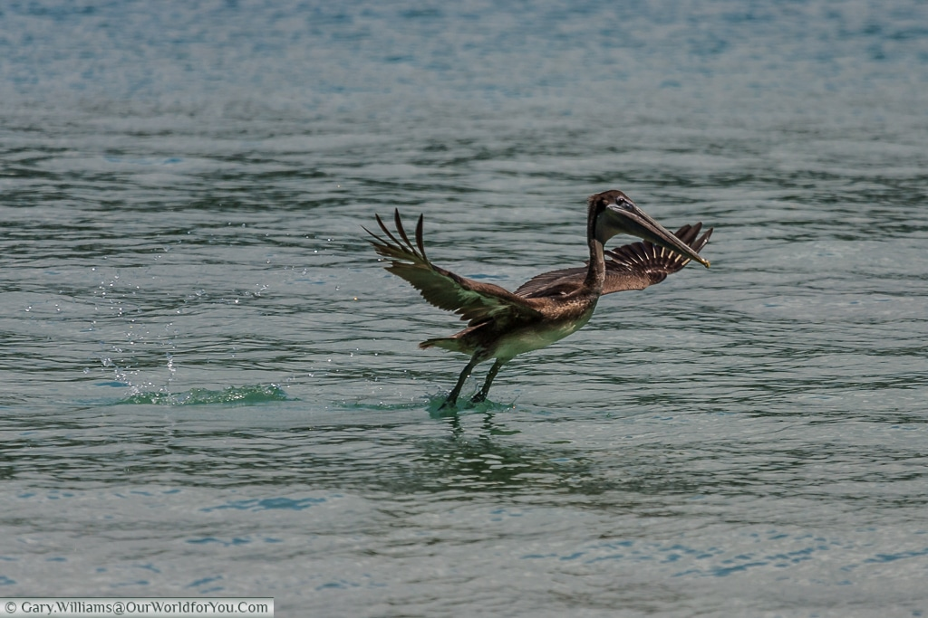 A Brown Pelican just taking off, feet just dragging in the water.