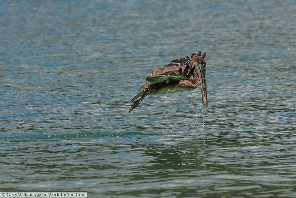 Our Brown Pelican has just skimmed the surface. Watching this bird is fascinating.