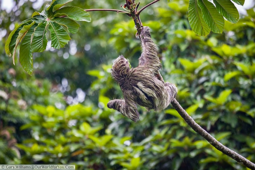 A soaked Sloth continues to eat.