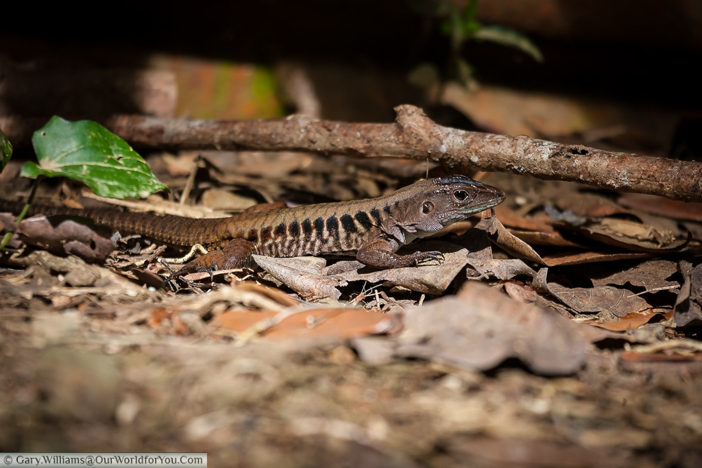 A Whiptail Lizard on a beach in Manuel Antonio.