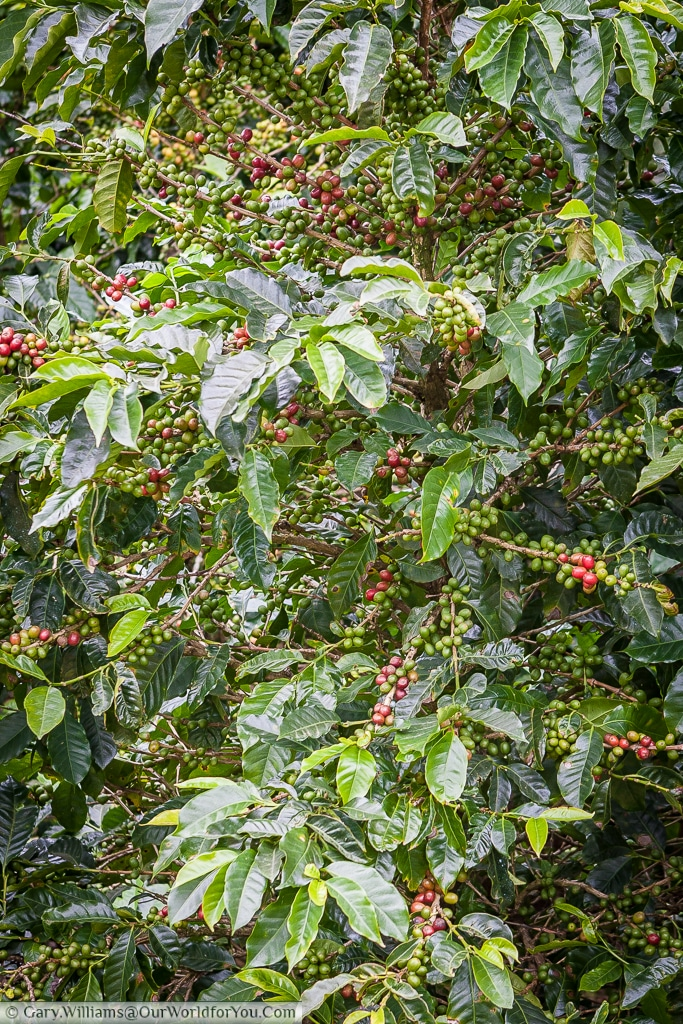 A coffee bush showing its bright red berries.