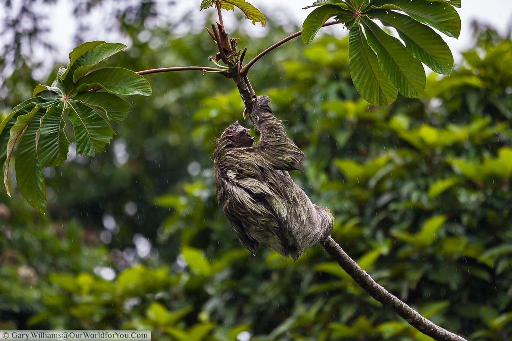 Our Sloth hangs on despite the weather. It's not an easy life.