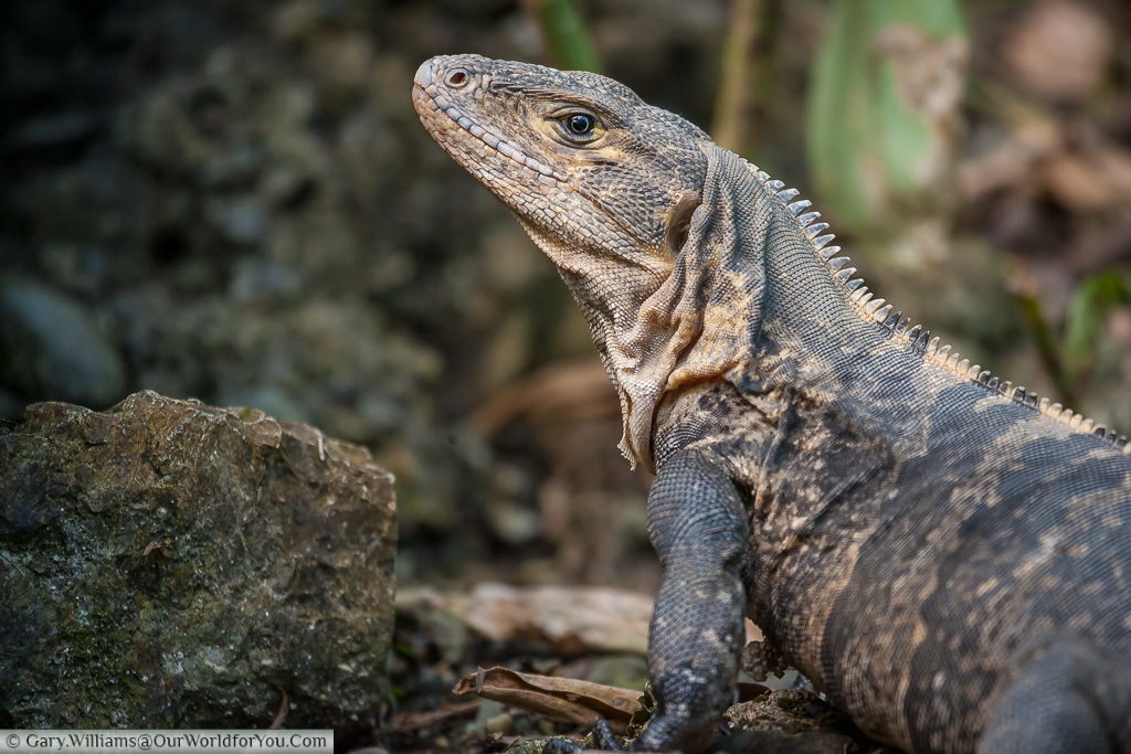 A wonderful Black Iguana warming up in the early morning on a beach at Manuel Antonio.
