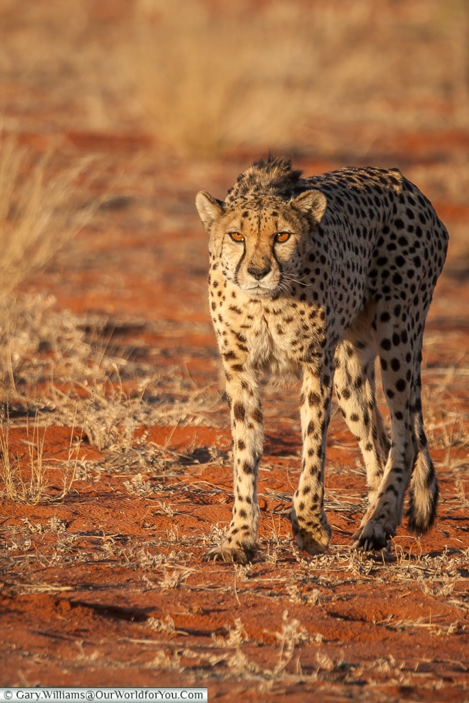 A cheetah waiting, Bagatelle Kalahari Game Ranch, Namibia