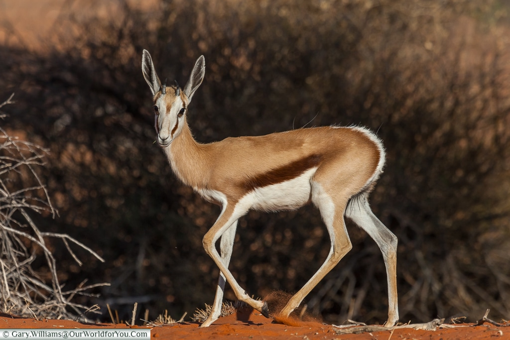 A young springbok on the Morning Game Drive at the Bagatelle Kalahari Game Ranch, Namibia