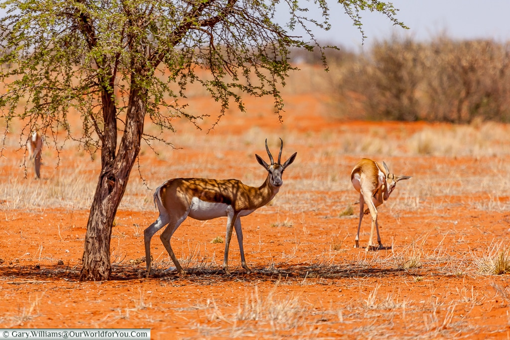 Wildlife from our lodge, Bagatelle Kalahari Game Ranch, Namibia