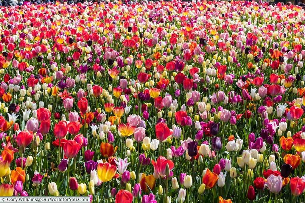 A blast of colour, Keukenhof, Holland, Netherlands