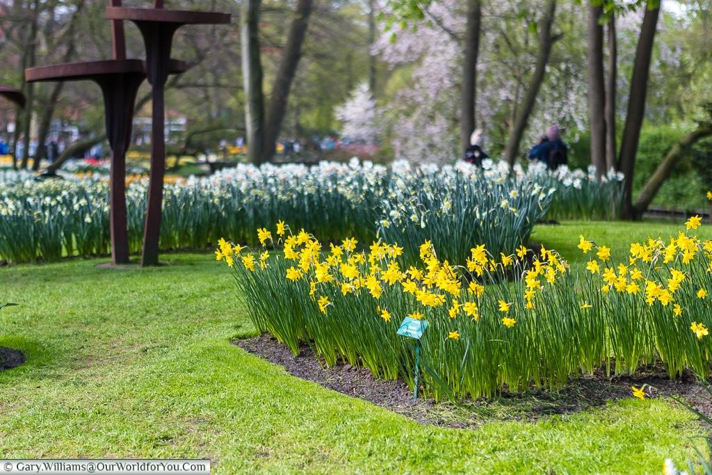 Narcissus still in bloom, Keukenhof, Holland, Netherlands