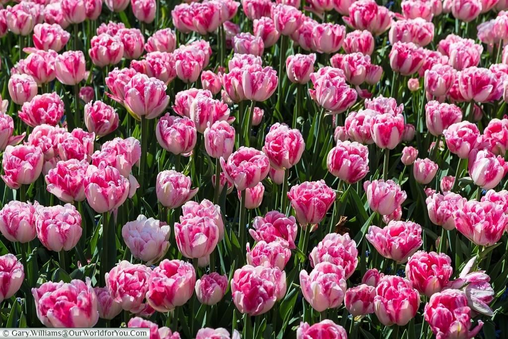 Pinks and Whites, Keukenhof, Holland, Netherlands