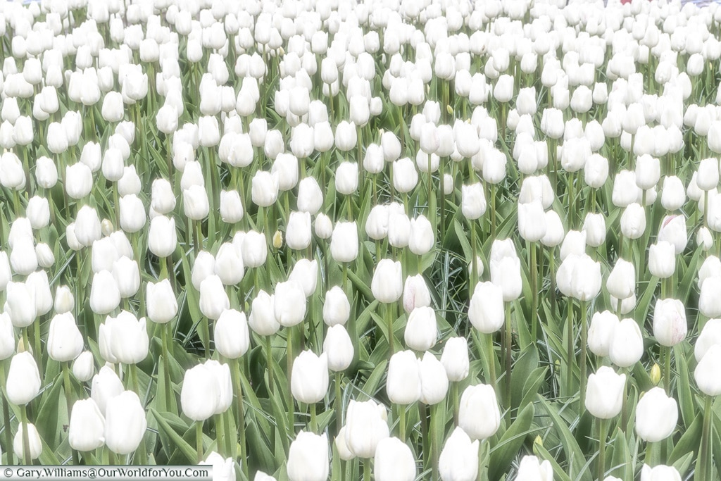 Snow white blooms, Keukenhof, Holland, Netherlands