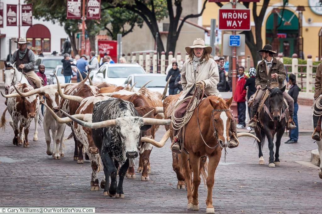 Leading the herd, Stockyards. Fort Worth, Texas, USA