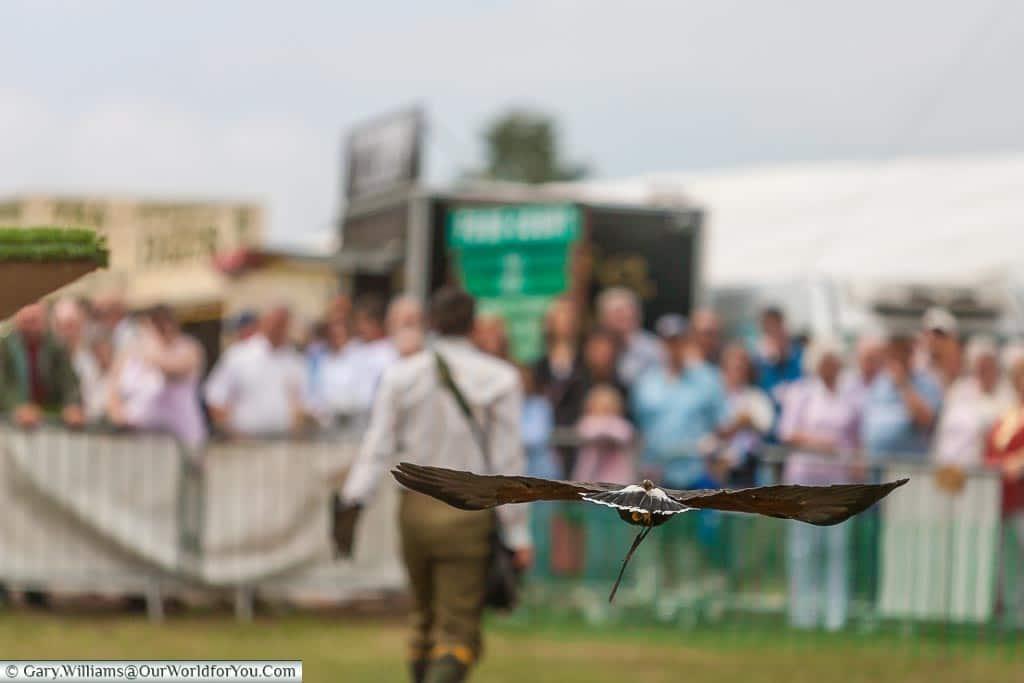 The bird of prey display, Kent County Show, Kent, England, UK