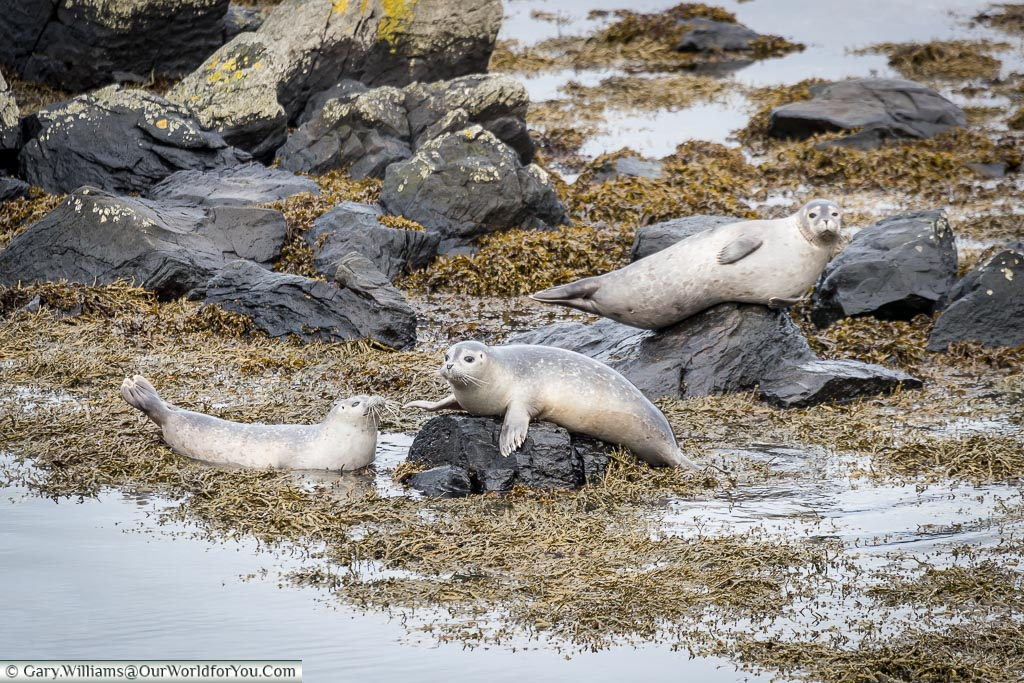 Seals just laying around, Iceland