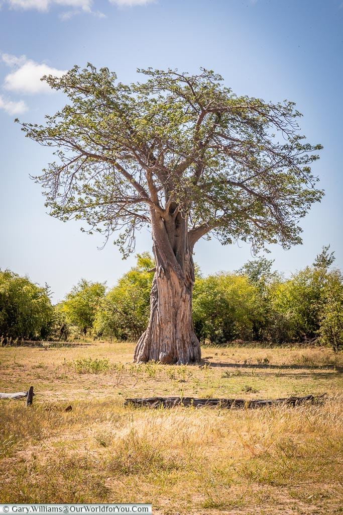 A Baobab Tree, Rhino Safari Camp, Lake Kariba, Zimbabwe