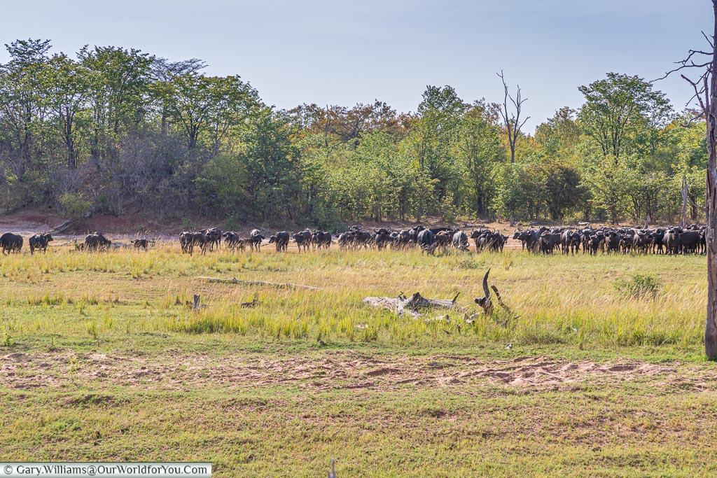 Buffalo keeping their distance, Bush Walk, Rhino Safari Camp, Lake Kariba, Zimbabwe